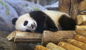 Panda At Toronto Zoo. Panda bear lying down on wooden log at the Toronto Zoo In Canada Royalty Free Stock Images