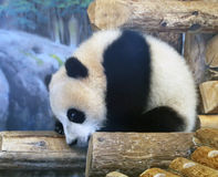Panda At Toronto Zoo Stock Photos