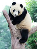 Panda on the tree. Chengdu research base of giant panda breeding Stock Photo