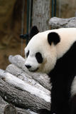 Panda on tree branches Stock Images