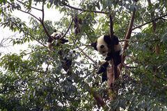 Cute panda on tree. Four giant panda resting on the tree.  Photo was taken in Sichuan, China where is the original habitat of panda Royalty Free Stock Photos