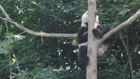 Panda in the tree stock video footage