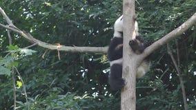 Panda in the tree stock video footage