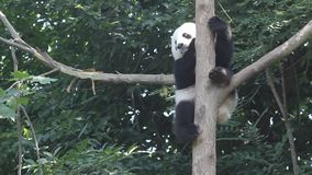 Panda in the tree stock footage