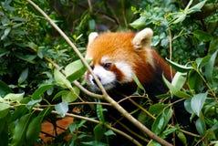 Panda On Tree rosso Fotografia Stock