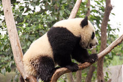 Panda on a tree stock photos