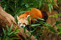 Panda van aard Mooie Rode panda die op de boom met groene bladeren liggen De rode panda draagt, Ailurus fulgens, habitat Detailge Royalty-vrije Stock Foto's