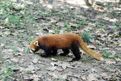 Panda vermelha Imagem de Stock