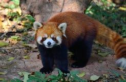 A panda vermelha Imagem de Stock
