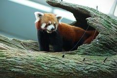Panda vermelha Foto de Stock Royalty Free