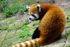 Panda vermelha Fotografia de Stock