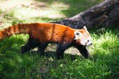Panda vermelha Fotografia de Stock Royalty Free