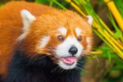 Panda vermelha Foto de Stock