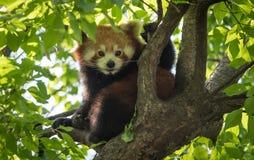Panda vermelha Fotos de Stock Royalty Free