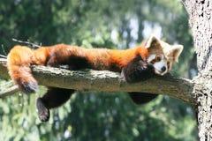 Panda vermelha Fotos de Stock