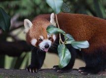 Panda vermelha bonito Imagem de Stock Royalty Free