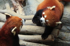 Panda vermelha de Styan Fotos de Stock