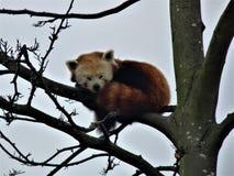 Panda vermelha do sono fotos de stock royalty free