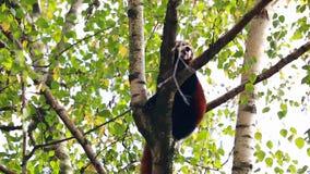 Panda vermelha em uma filial de árvore filme