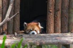 A panda vermelha está dormindo na casa na árvore fotografia de stock royalty free