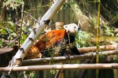 Panda vermelha Fulgens do Ailurus Imagens de Stock