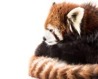 Panda vermelha na neve imagens de stock royalty free