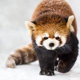 Panda vermelha na neve II imagens de stock royalty free