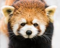 Panda vermelha na neve III imagens de stock