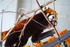 Panda vermelha na neve no jardim zoológico de Sapporo Maruyama, Hokkaido Japão foto de stock