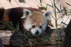Panda vermelha no jardim zoológico do Oklahoma City Foto de Stock Royalty Free