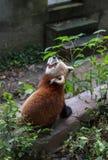 Panda vermelha no jardim zoológico em Chengdu, China Fotos de Stock Royalty Free