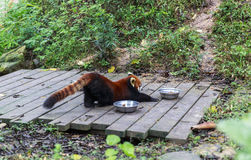 Panda vermelha no jardim zoológico em Chengdu, China Fotografia de Stock Royalty Free
