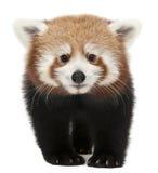Panda vermelha nova ou gato de brilho, fulgens do Ailurus Imagens de Stock