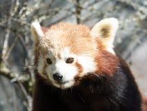 Panda vermelha pequena no alimento Close up ao comer imagem de stock royalty free
