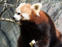 Panda vermelha pequena no alimento Close up ao comer fotos de stock royalty free