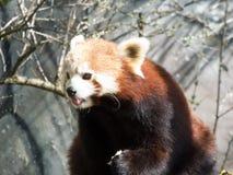 Panda vermelha pequena no alimento Close up ao comer imagem de stock