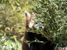 Panda vermelha pequena que esconde atrás de um bosque imagens de stock royalty free