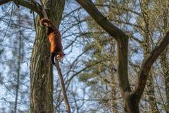 Panda vermelha que escala para baixo da árvore imagens de stock