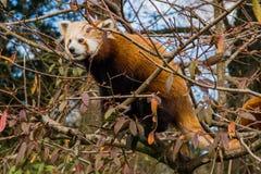 Panda vermelha que esconde em uma árvore Fotografia de Stock Royalty Free