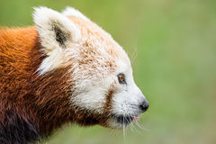 Panda vermelha XVIII imagens de stock royalty free