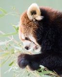 Panda vermelha XX foto de stock