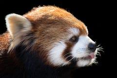 Panda vermelha XXIII fotografia de stock royalty free