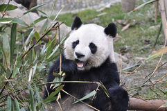 Panda W Chiny Fotografia Stock