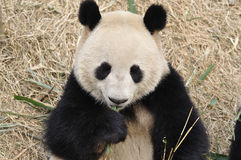 Panda W Chiny Obraz Royalty Free