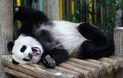Panda w Malezja obywatela zoo Zdjęcia Royalty Free