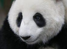 Panda w Malezja obywatela zoo Obrazy Royalty Free