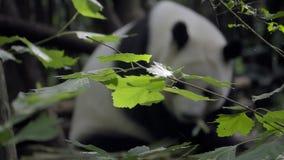 Panda w tle z ostrości zbiory wideo
