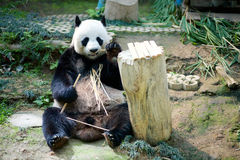 Panda w zoo Fotografia Royalty Free