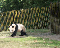 Panda walk Royalty Free Stock Image