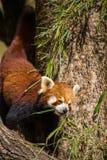 Panda Walking rojo en tronco de árbol que come las hojas de bambú foto de archivo